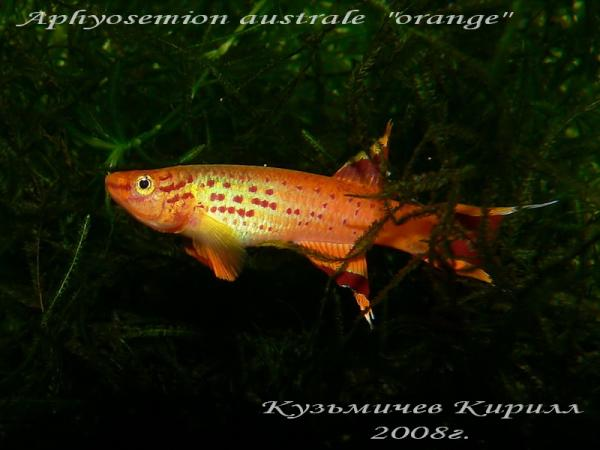 "Aphyosemion australe ""orange"", самец"