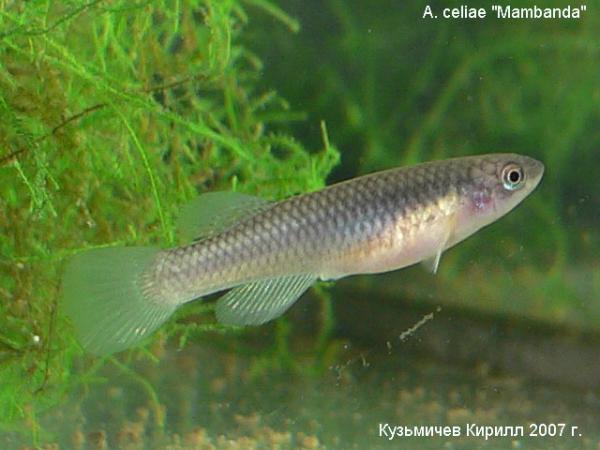 """Aphyosemion celiae """"Mambanda"""", самка"""
