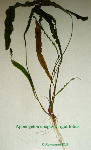 Aponogeton crispus x rigidifolius