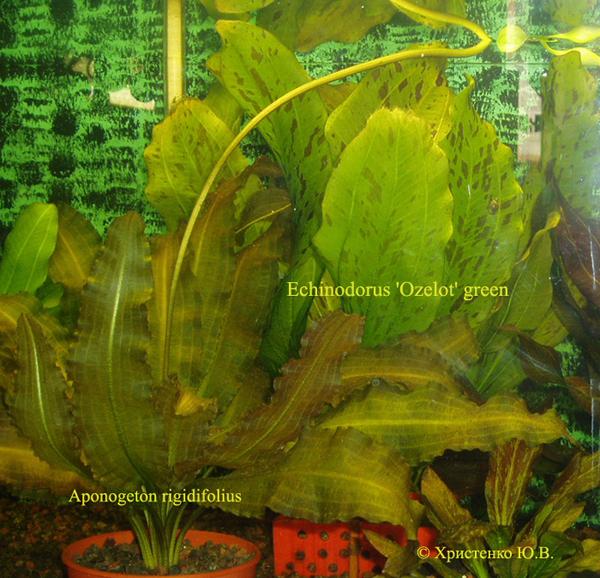 Aponogeton rigidifolius & Echinodorus Ozelot green