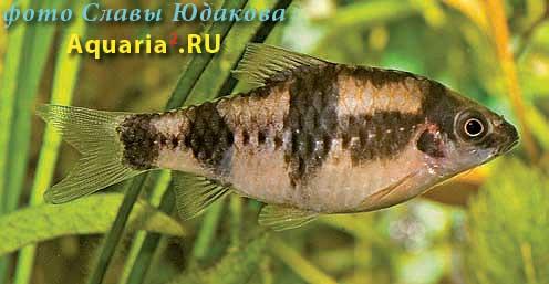 Puntius fasciatus, дынный барбус