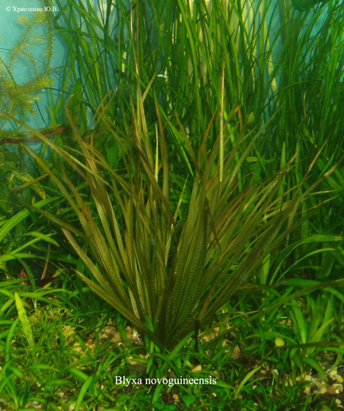 Blyxa novoguineensis