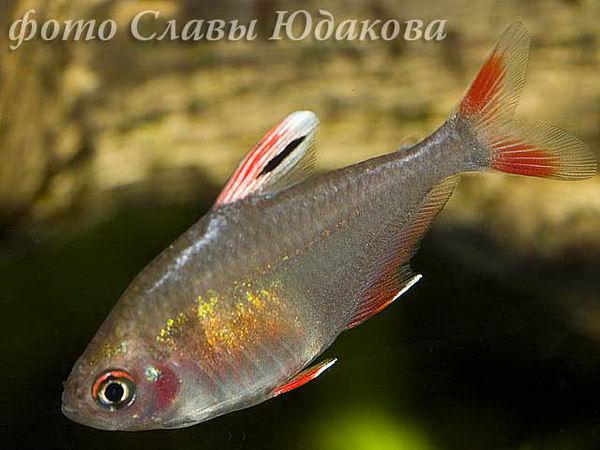 Hyphessobrycon sweglesi, красный фантом, самка