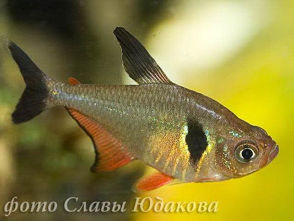 Hyphessobrycon megalopterus, черный фантом, самка