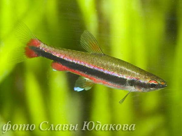Нанностомус Бекфорда (Nannostomus beckfordi), самец