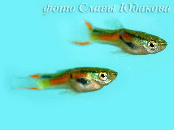 Гуппи Эндлера (Poecilia wingei), самцы