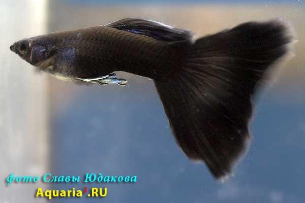 Гуппи (Poecilia reticulata), черные, самец