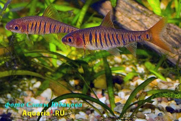 Синештриховый барбус ( Puntius /Barbus/ barilioides), самец /спереди/, самка /сзади/