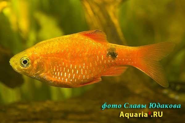 Барбус огненный, золотистая форма (Puntius conchonius), самец