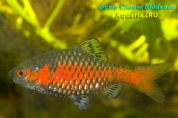 Алый /одесский/ барбус (Puntius ticto), самец