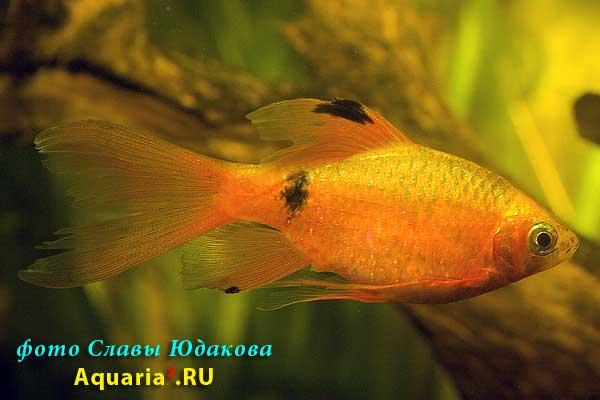 Огненный барбус, золотистая вуалевая форма (Puntius conchonius), самец