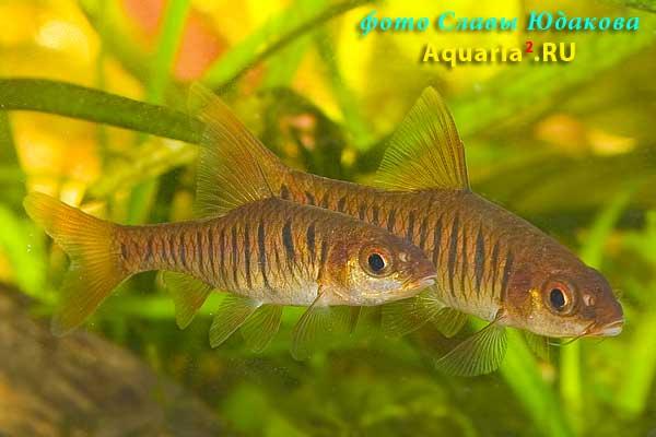 Синештриховый барбус ( Puntius /Barbus/ barilioides)