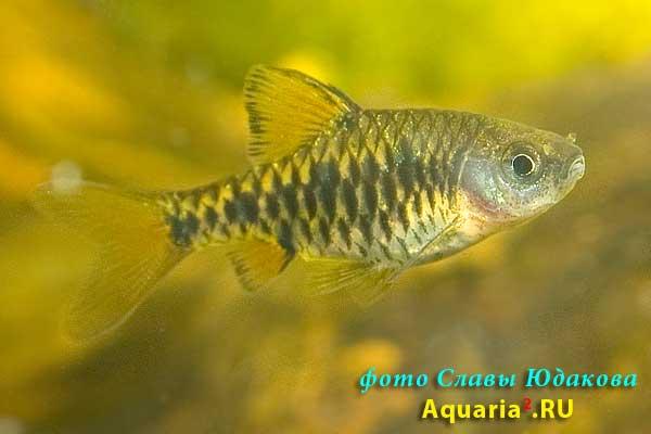 Барбус олиголепис (Puntius /Barbus/ oligolepis)