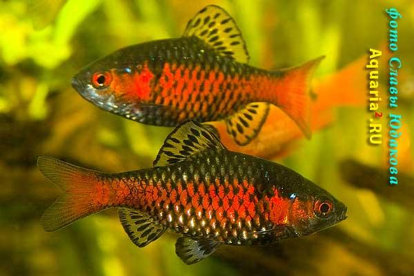 Алый /одесский/ барбус (Puntius ticto), самцы