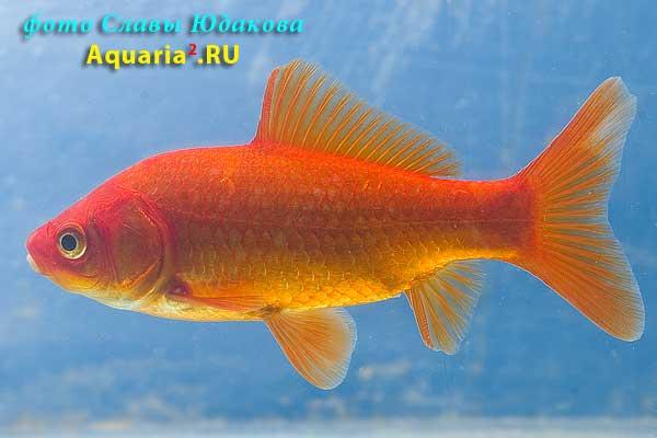 Carassius auratus, золотая рыбка