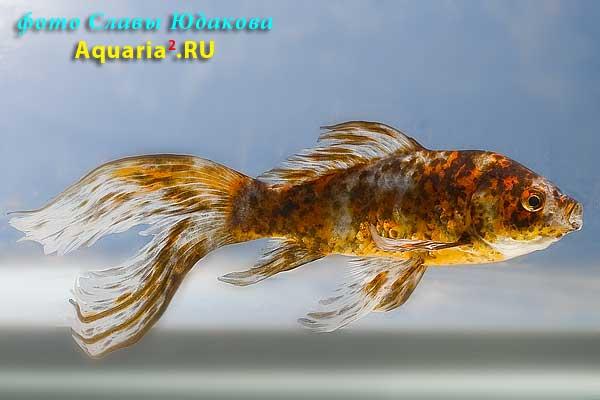 Carassius auratus, золотая рыбка комета ситцевая