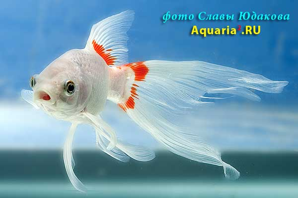 Carassius auratus, золотая рыбка комета бело-красная