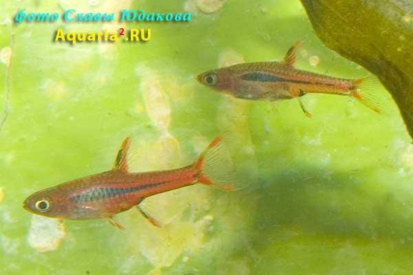 Boraras urophthalmoides   (Kottelat, 1991). Расбора светлячок , самец (спереди) и самка (сзади)