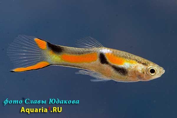 Гуппи (Poecilia reticulata), самец
