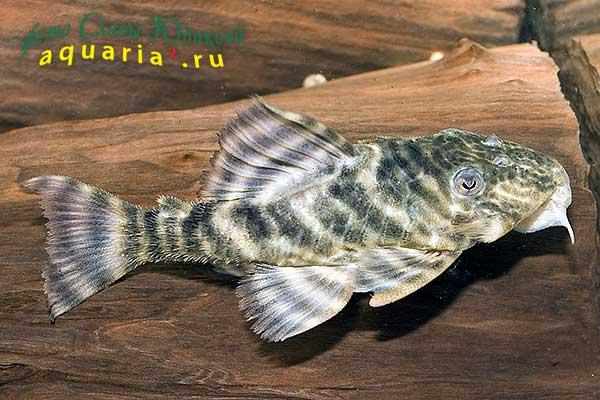 Peckoltia Sp., L-377