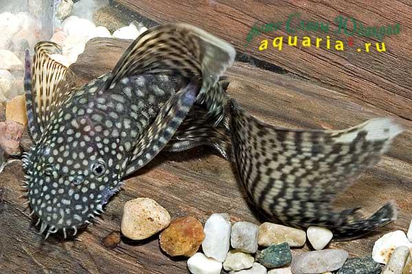 Ancistrus dolichopterus var., обыкновенный анциструс, вуалевая форма, самец