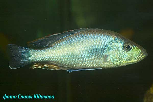 Dimidiochromis strigatus, самец