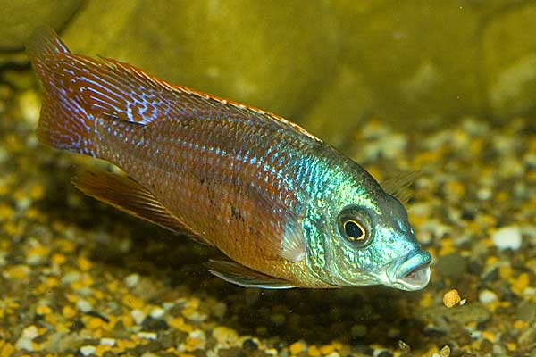 Copadichromis taeniolatus, самец