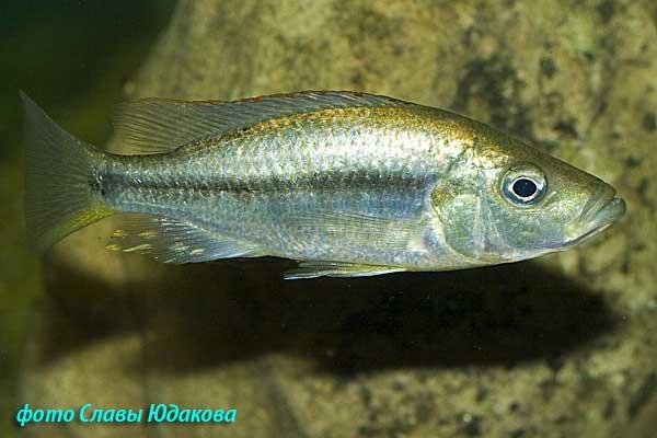 Dimidiochromis strigatus, молодой самец