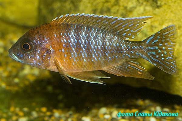 Aulonocara sp. Red rubin, самец