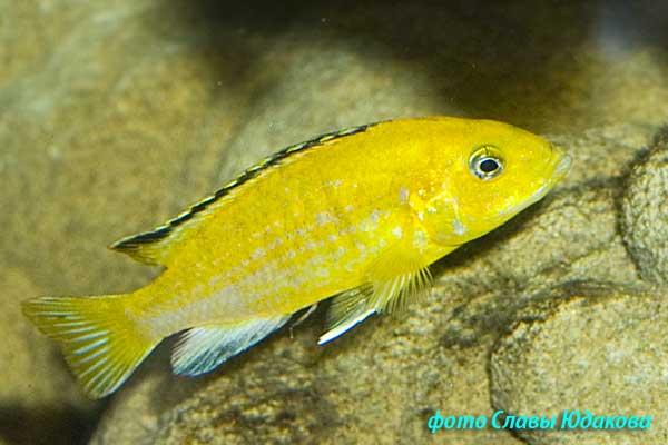 Labidochromis caeruleus, йеллоу