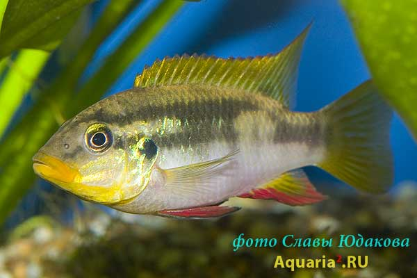 Chromidotilapia sp.
