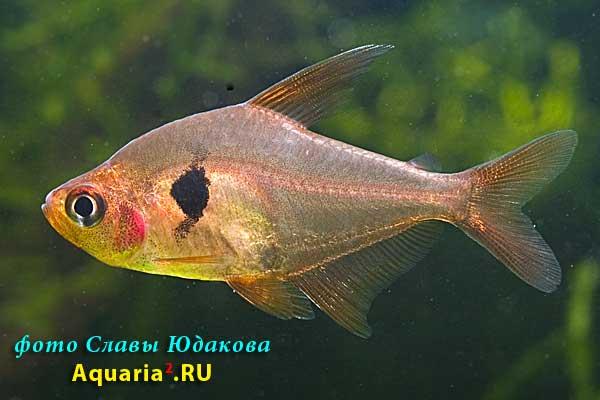 Hyphessobrycon sweglesi, красный фантом, самец