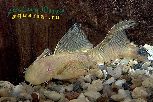 Ancistrus sp. Albino Gold Veil, золотой анциструс, вуалевая форма, самец