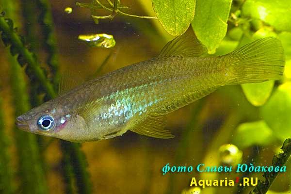 Alfaro cultratus, бирюзовый альфаро, ♀
