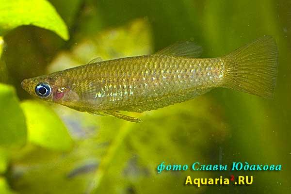 Alfaro cultratus, бирюзовый альфаро, ♂
