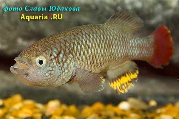 Nothobrachius neumanni 'Bahi Village, TAN RB 05/29', самец