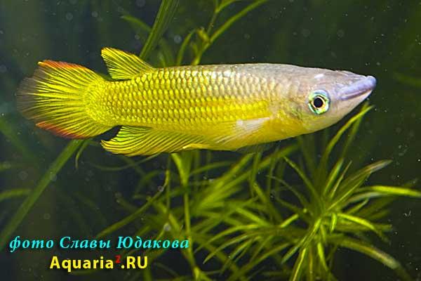 Aplocheilus lineatus, аплохейлус линеатус, золотая форма, ♂
