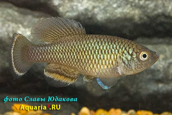 Nothobranchius taeniopygus 'TAN RB 05/33'