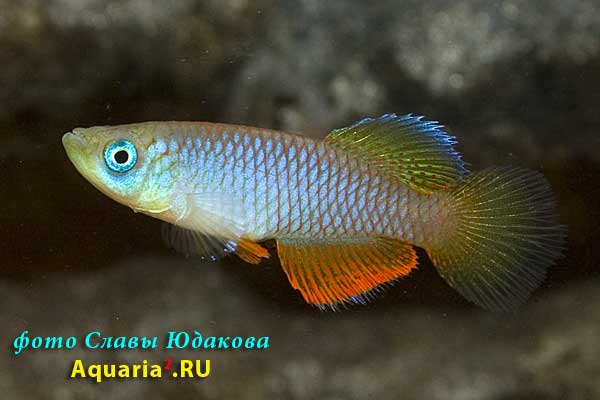 Nothobranchius janpapi 'TAN RB 05/40'