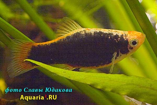 """Xiphophorus maculatus """"Tuxedo', пецилия, форма """"Тукседо"""""""
