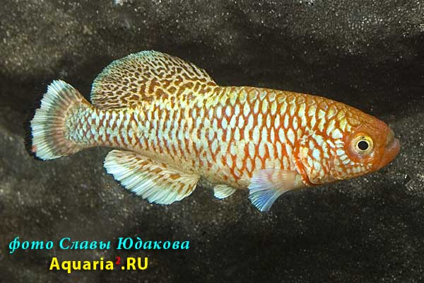 "Nothobranchius kafuensis, популяция: скорее всего ""Kayuni State Farm"", самец"
