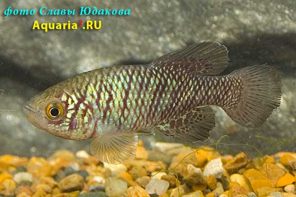 "Nothobranchius rachovii ""MOZ 99/9"""
