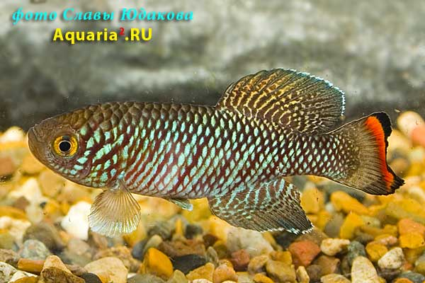 "Nothobranchius rachovii ""Mazimechopes River MZ 04-2"", самец"