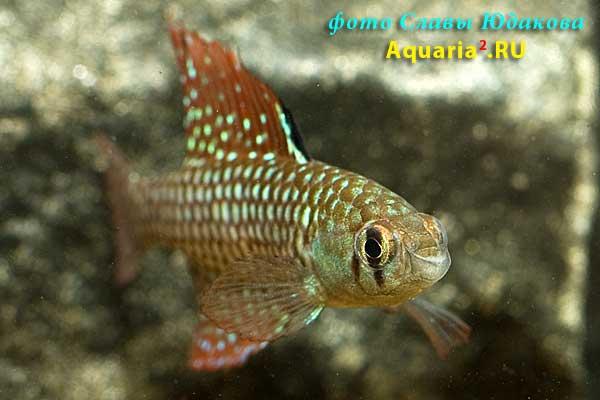 Simpsonichthys reticulatus 'Altamira Xingu'