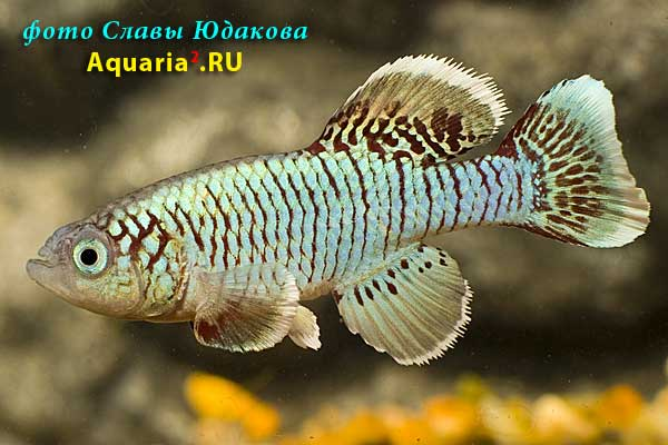 Nothobranchius egersi, голубая форма, самец
