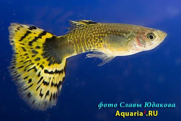 Гуппи (Poecilia reticulata), желтая ковровая полутемная змеиная кожа, самец