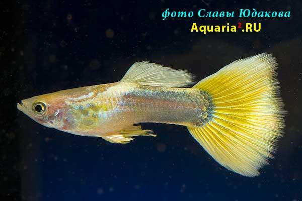 Гуппи (Poecilia reticulata), полутемная желтая, самец
