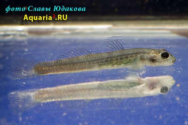 "Стифодон жёлто-красный (Stiphodon spec. ""red - yellow""), самка"