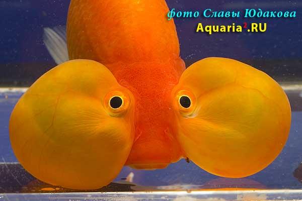 """Золотая рыбка """"водяные глазки"""" (Carassius auratus)"""