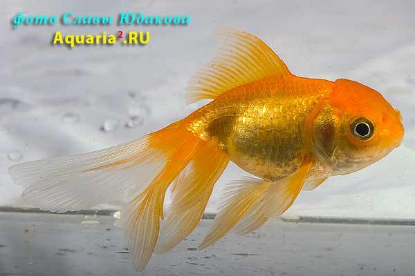 Оранда Красная (Carassius Auratus)